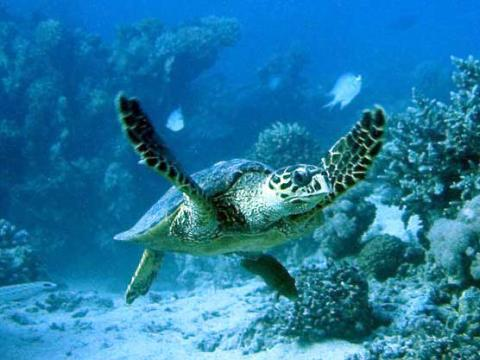 caretta caretta loggerhead sea turtle